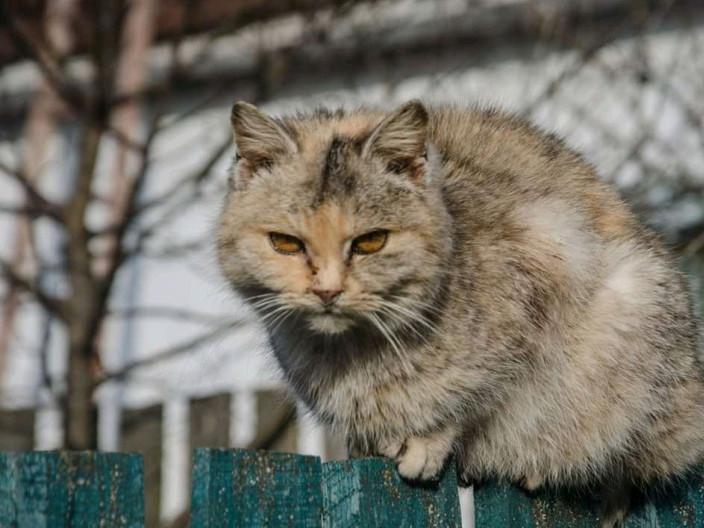Степанський кіт